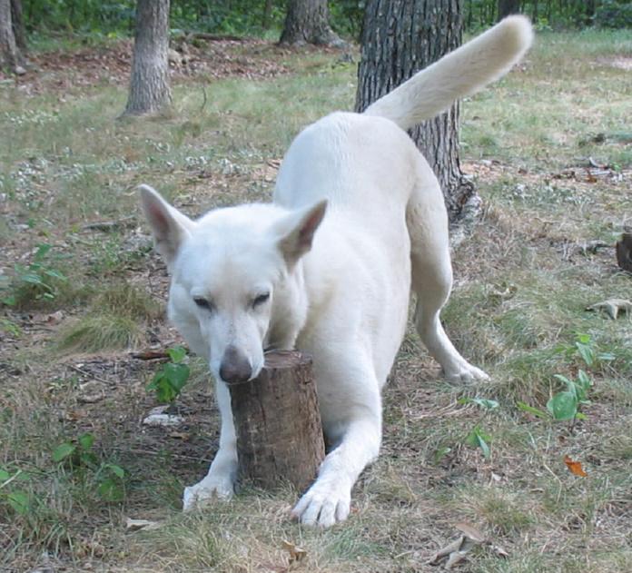 gunther white german shepherds | our seventeenth year
