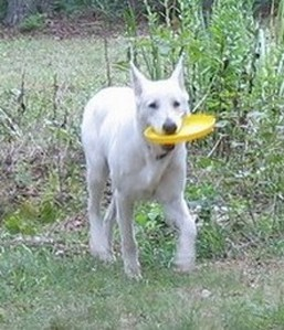 white german shepherd - frisbee