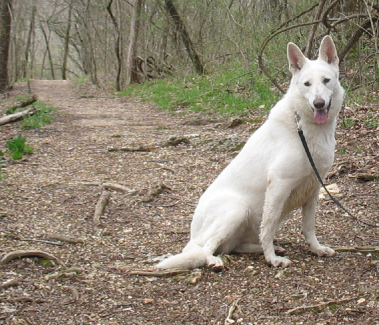 White German Shepherd Blue Eyes White german shepherd