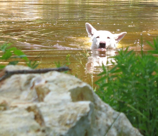 Deuce swimming in pond
