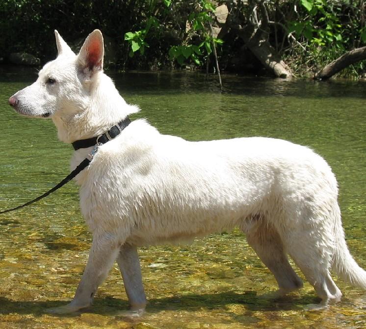White German Shepherds - Deuce and Meadow at Sinking Creek (12)