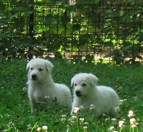 White German Shepherd puppies 4 wks old