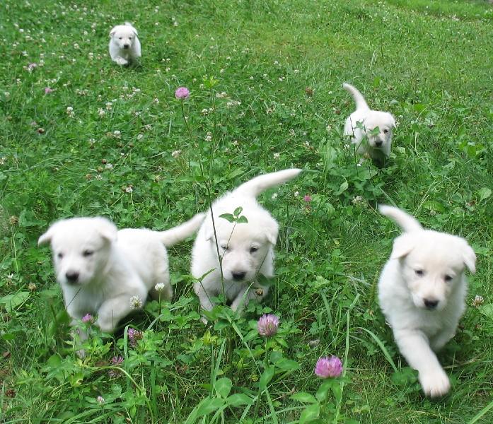 White German Shepherd pups 5 weeks old