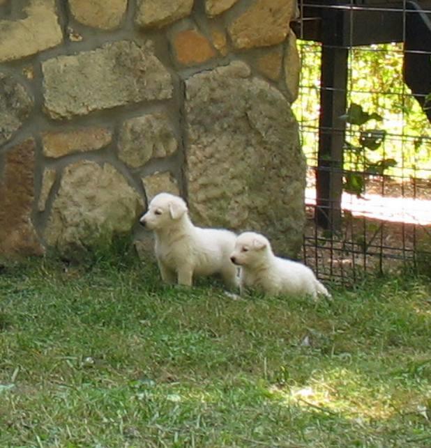 White German Shepherd puppies 4 weeks old