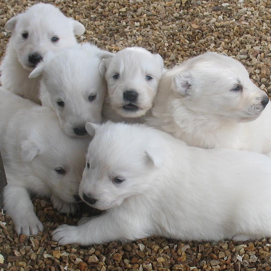 Buy White German Shepherd Dogs Puppies For Sale Near Me In Queensland Australia
